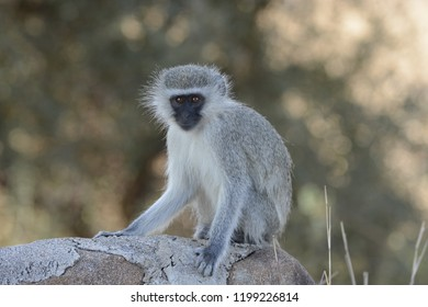 Velvet monkey in South-Africa
