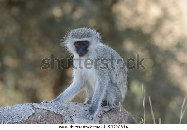 Velvet monkey in South-Africa