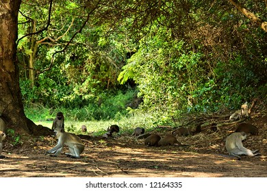 Velvet monkeys and mongooses in camp's park. Shot in Sodwana Bay campsite, KwaZulu-Natal province, Southern Mozambique area, South Africa.