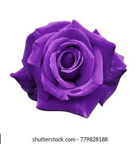 Velvet purple rose on a white isolated background with clipping path.  no shadows. Closeup. For design, texture, borders, frame, background.  Nature.