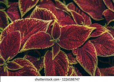 Velvet red Coleus. Coleus in the summer city Park. Close up