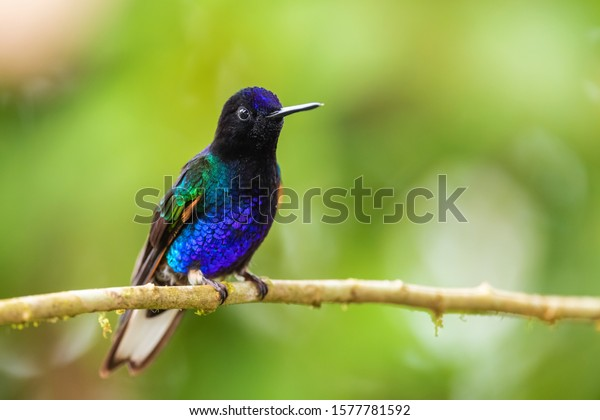 Velvet-purple Coronet - Boissonneaua jardini, beautiful colored hummingbird from western Andean slopes of South America, Amagusa, Ecuador.