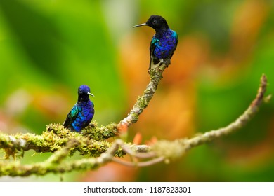 Velvet-purple Coronet, Boissonneaua jardini, two glittering blue hummingbirds perched on mossy twig against abstract orange background. Cloud forest, Montezuma, Tatama national park, Colombia.