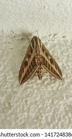 Velvety Feathered Butterfly (Kadife tüylü kelebek)