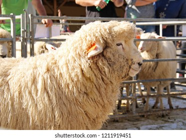 VENDRYNE, CZECH REPUBLIC, OCTOBER 13: portrait of fluffy romney sheep at the exhibition of farm animals in Vendryne, Czech Republic, October 13, 2018