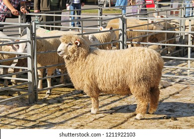 VENDRYNE, CZECH REPUBLIC, OCTOBER 13: male romney sheep and some other sheep of different breeds at the exhibition of farm animals in Vendryne, Czech Republic, October 13, 2018