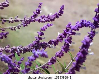 Venezuela, Merida. Purple and soft lavender