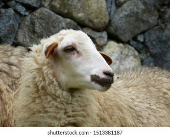 Venezuela, Merida. The sheep's look.