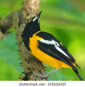 The Venezuelan troupial (Icterus icterus) looking for insects under the tree bark