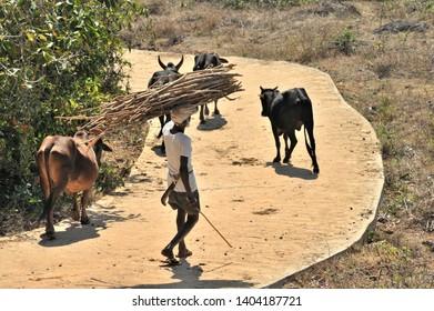 Vengurla Sindhudurga Maharashtra India January 21 2011  Unidentified Indian farmer with his cows at his village carrying bundle of sticks