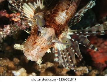 A venomous lionfish in Beqa Lagoon, Fiji.