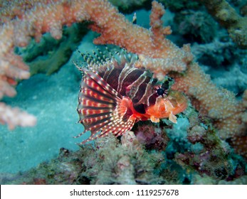 Venomous Lionfish in Coral Reef