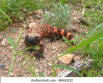 A venomous lizard - Gila monster, Heloderma suspectum, in defensive posture ready to bite