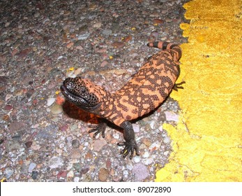 A venomous lizard - Gila monster, Heloderma suspectum, on the road at night