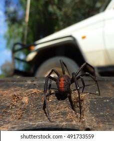 A venomous Redback Spider.