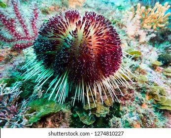 a venomous sea urchin (Asthenosoma ijimai   Yoshiwara, 1897) Owase, Mie, Japan