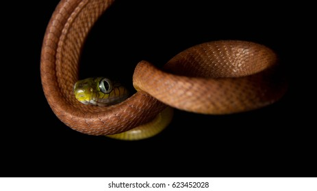 Venomous snake Boiga cyanea with orange body and green head with big eyes in the night on the tree in the forest with black background - Shutterstock ID 623452028
