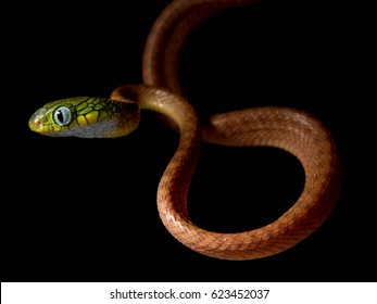 Venomous snake Boiga cyanea with orange body and green head with big eyes in the night on the tree in the forest with black background - Shutterstock ID 623452037