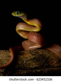 Venomous snake Boiga cyanea with orange body and green head with big eyes in the night on the tree in the forest with black background - Shutterstock ID 623452106