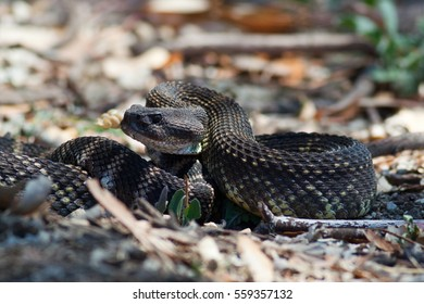 A venomous Southern Pacific Rattlesnake, curled into a defensive position. Southern Pacific rattlesnakes are found commonly in southern California and northern Baja, Mexico.