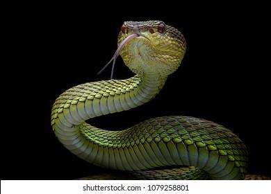 Venomous Viper - Reptile Snake Photo Series