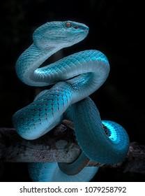 Venomous Viper Snake - Reptile/Snake Photo Series