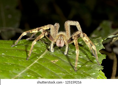 Venomous wandering spider (Phoneutria fera) looking at the camera, Ecuador