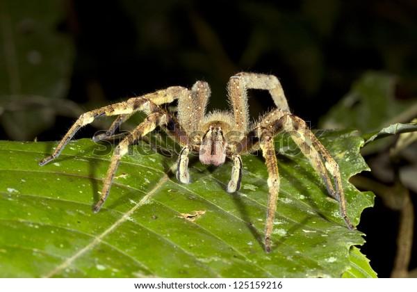 Venomous wandering spider (Phoneutria fera) looking at the camera, Ecuador