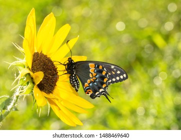 Ventral view of a beautiful Black Swallowtail butterfly on a Sunflower in morning sun