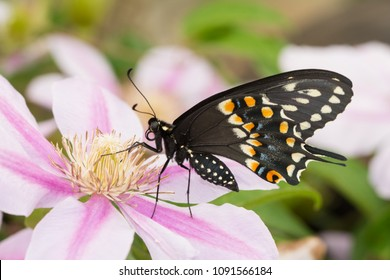 Ventral view of a beautiful male Eastern Black Swallowtail butterfly on a Clematis flower