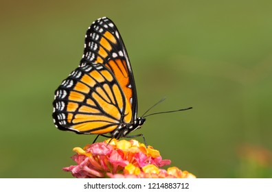 Ventral view of a brilliant Viceroy butterfly on colorful Lantana flower against green background