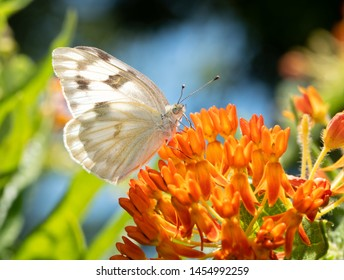 Ventral view of a Checkered White butterfly drinking nectar from an orange Milkweed flower