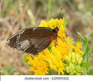 Ventral view of a female Diana Fritillary, a rare butterfly species, feeding on a yellow Asclepias tuberosa flower