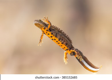 Ventral view of a male great crested newt (Triturus cristatus)