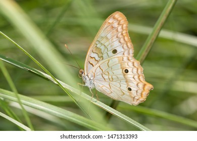 Ventral view of a White peacock butterfly resting on a grass blade