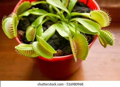 venus fly trap houseplant in the house beside the window
