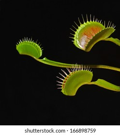 venus fly trap on black background