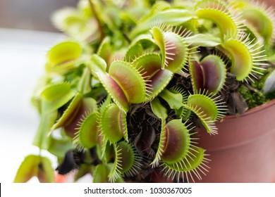 Venus Fly Trap Plant