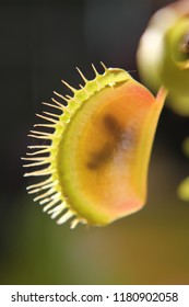 The Venus flytrap is a carnivorous plant