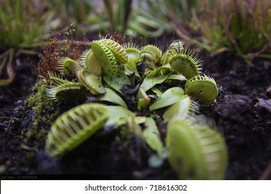 Venus flytrap close-up