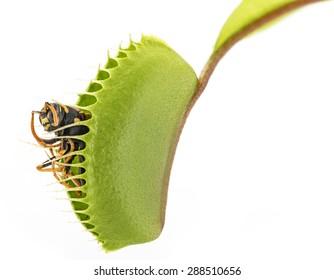 Venus flytrap - dionaea muscipula with trapped wasp