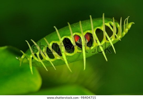 Venus flytrap (Dionaea muscipula) with trapped fly