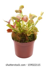 Venus Flytrap (Dionaea) in a pot on a white background