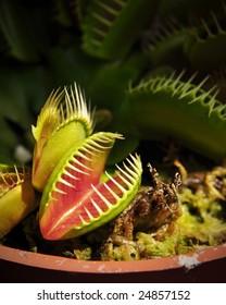 Venus fly-trap plant