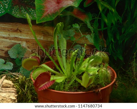 Venus Flytrap Terrarium Stock Photo Edit Now 1147680734 Shutterstock