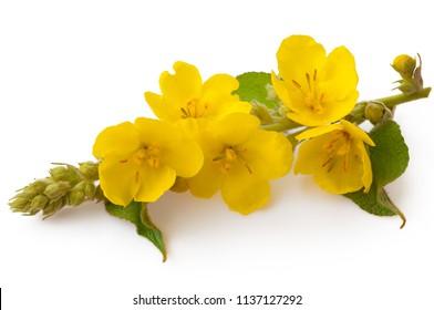 Verbascum, common mullein flower isolated on white background. Medicinal plant, alternative medicine.