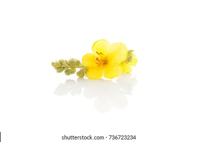 Verbascum, common mullein flower isolated on white background. Medicinal plant, alternative medicine.