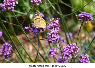 Verbena bonariensis lollipop purple flowers and yellow argynnis paphia butterfly on it