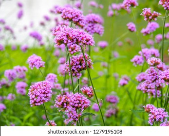 Verbena Bonariensis is a purple flower, The meaning of this flower is the happiness of everyone in the family. In addition, the Verbena is also another meaning. Please pray for me.