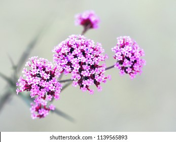 Verbena bonariensis, purpletop or clustertop vervain, argentinian vervain, tall or pretty verbena. Flowering plant with small pink flowers. Garden flowerbed, floral background, gardening